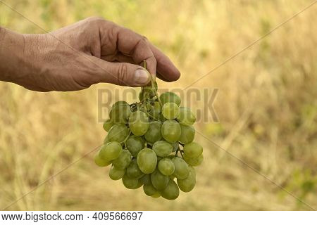Autumn Harvest. Large Ripe Bunch Of Grapes. Male Hand Holds Bunch Of Grapes On Blurry Background Of