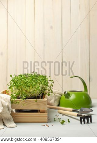 Micro-greenery In A Wooden Box With Garden Tools. Micro-greens Are A Source Of Vitamins, Ideal For A