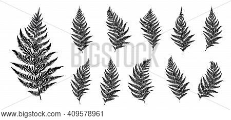 Vector Fern Silhouette Collection On White Background.