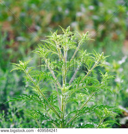 Blooming Ambrosia Bushes. Ragweed Plant Allergen, Toxic Meadow Grass. Allergy To Ragweed Ambrosia .