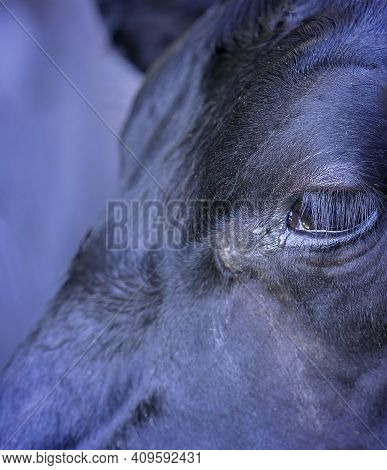 A Cow's Eye In Closeup Showing Eye Lashes And Moisture