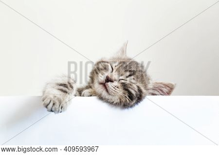 Pet Kitten Head With Paw Napping Behind White Banner Background With Copy Space. Kitten Sleeping Ove