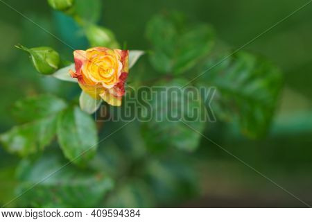 Close-up Soft Focus Of A Beautiful Orange Lonely Flower On A Green Bush. Yellow Flowers Rosa Golden