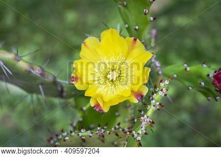Yellow Cactus Flower In The Garden. Top View Of A Cactus Flower. Beautiful Cactus Flower In A Sunny