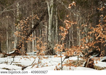 Forest Landscape With Brown Fallen Leaves And Snow. Early Spring In Dolomites Apls In Sunny Day.
