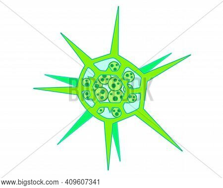 Dictyocha - Microscopic Unicellular Plant - Algae - Vector Full Color Illustration. The Microorganis