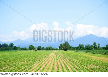 Rows Of Young Corn Shoots On Cornfield. Green Field With Small Plants Corn. Summer Landscape. Maize
