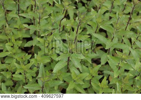 Fresh Forest Mint Plant In The Garden. Plant Background