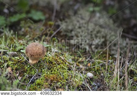 The Lycoperdon Lambinonii Is An Inedible Mushroom , An Intresting Photo