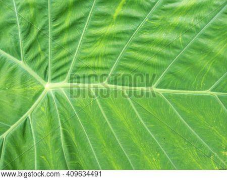 Taro Leaf. Close Up Of Fresh Green Leaves Texture Background. Floral Green Pattern Background.