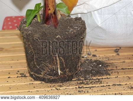 In Porcess Of Repotting Banana Plant Indoor - Healthy And Vigorous Roots