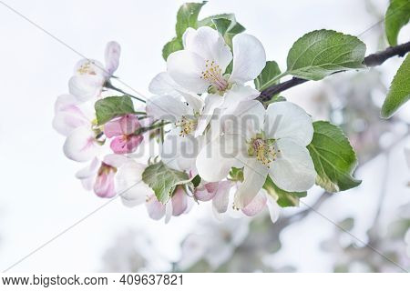 Beautiful Flowers Of An Apple Tree On A Tree In Sunlight. Spring. Blurred Background. Selective Focu