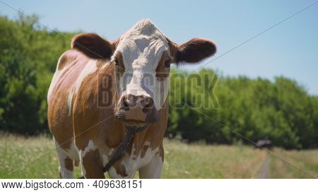 Red And White Spotted Cow In Meadow With Yellow Buttercup Flowers. Red Cow On A Summer Meadow.