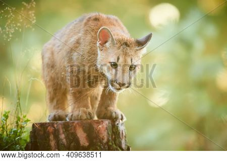 Cute American Cougar Cub In Beautiful Morning Light. Photo Of A Playing Cub. Portrait Baby Cougar, M
