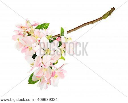 Apple Tree Blossom (malus Domestica) With Green Leaves. Spring Flowers Isolated On White Background.
