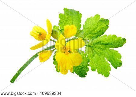 Chelidonium Majus, (commonly Known As Greater Celandine, Nipplewort, Swallowwort, Or Tetterwort, Whi
