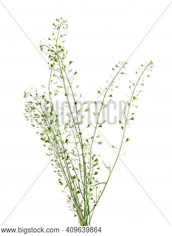 Capsella Bursa-pastoris, Known As Shepherd's Purse Because Of Its Triangular Flat Fruits, Which Are