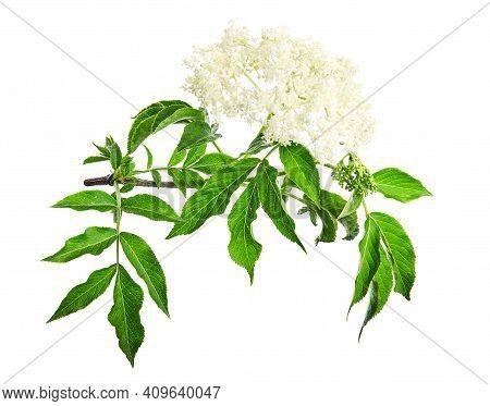 Sambucus  Flowering Shrub Isolated On A White Background. Common Names Include Elder, Elderberry, Bl
