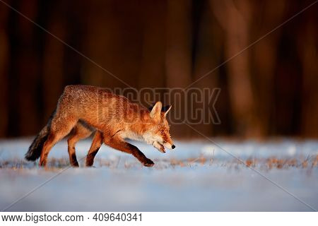 Young Fox (vulpes Vulpes) Looking For Food In A Snowy Meadow. Red Fox In Beautiful Winter Light. Ani