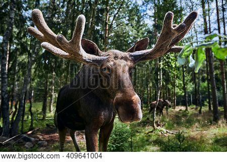 Big Male Bull Moose (alces Alces) In Deep Forest Of Sweden. Big Animal In The Forest. Elk Symbol Of