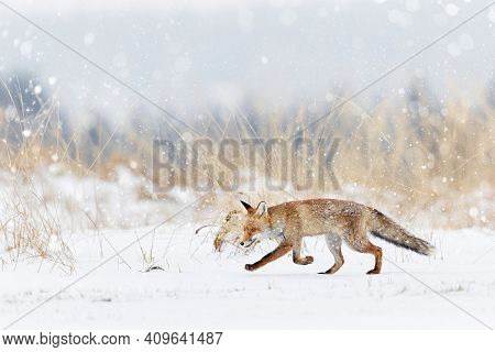 Fox With White Snow On The Meadow. Hunting Fox (vulpes Vulpes) In A Snowy Field. Nature Scene With A