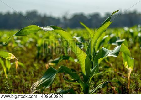 The Maize Leaf Consists Of Four Distinct Tissues Along Its Proximodistal Axis. Maize Leaves Are Uniq