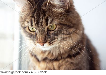 Funny Gray Tabby Cute Cat With Beautiful Big Eyes On Light Background. Lovely Fluffy Pet Is Gazing C