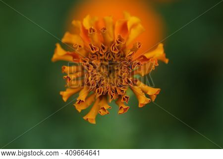 Young Orange Marigold Flower Blossom On Green Garden Background Top View. New Life, Life Process Con