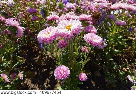 Pale Pink And Violet Flowers Of China Asters In September