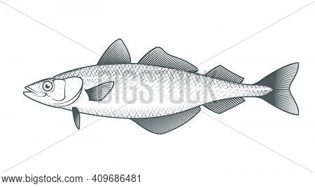 Alaska Pollack Sketch, Hand Drawn Fish, Pollock Seafood Menu, Fish In Engraved Style, Vector