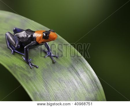 red headed poison dart or arrow frog in tropical Amazon rain forest of Peru beautiful animal with vivid warning colors poisonous amphibian