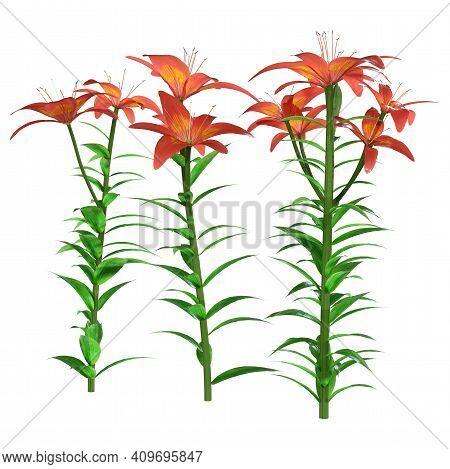 3D Rendering Orange Sensation Asiatic Lily Flowers On White