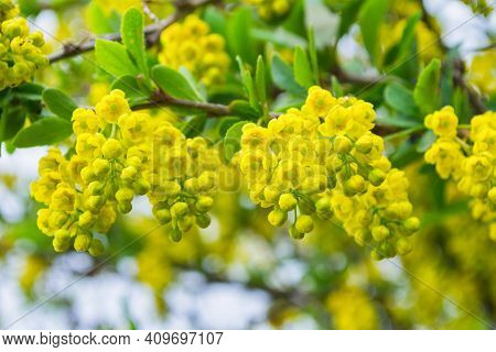 Blooming Barberry (latin: Berberis). Yellow Flowers Barberry Close-up. Selective Focus, Shallow Dof.