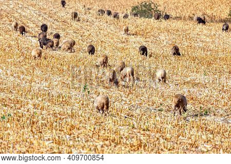 Herd On Sheep Grazing In Summer . Domestic Animals On The Cornfield