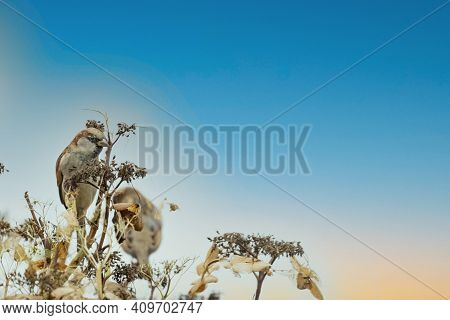 Portrait Of Two Sparrows In An Overblown Hydrangea Bush. Against A Colorful Cloudy Blue And Orange S