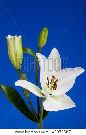 White Lily Flowers on Blue Background