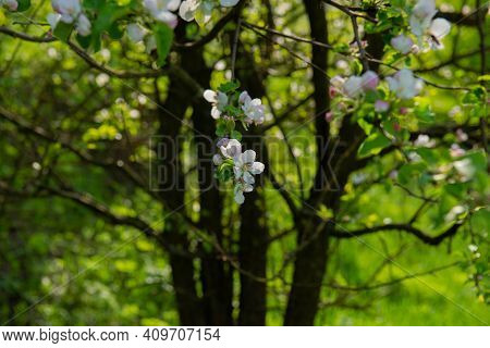 Blooming Flowers On Branches Of Pears On A Blurred Background Of Tree Trunks. Spring Season, May. We