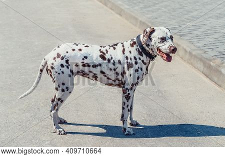 Beautiful Dalmatian On The Pavement. Cute Dog With Brown Spots Looks After Men. Dalmatian In Collar
