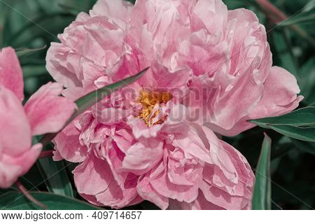Beautiful Large Peony Flower Close-up Top View. Flower Of Unreal Pink Color. Greeting Card Concept.