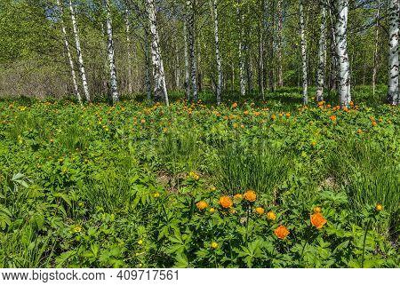 Flowering Glade Of Orange Trollius Asiaticus Or Globe-flowers In Spring  Birch Forest. Bright Sunny
