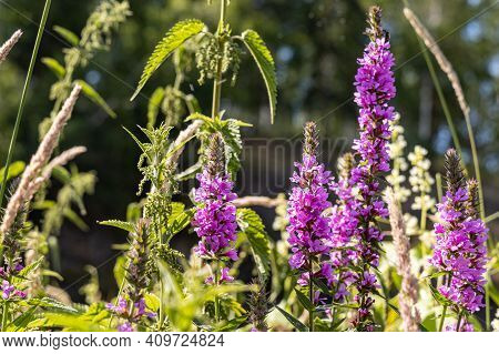 Group Of Red Lythrum Salicaria Robert Loosestrife With Flowers Is On A Beautiful Blurred Green Backg