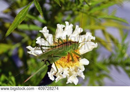 A Closeup Of A Green Locust That Sits On A White Flower And Eats Away At Its Yellow Heart.