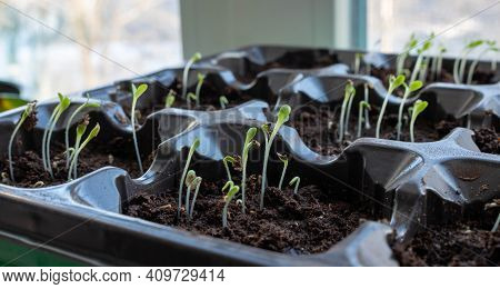 Photo Of Sprouting Seedlings Ready For The Greenhouse. Spring Background. Seedlings In The Spring On