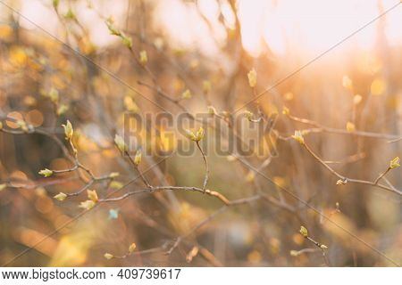 Spring Background Thin Spring Twigs With Young Fresh Tree Buds At Golden Hour At Sunset, Spring Mood