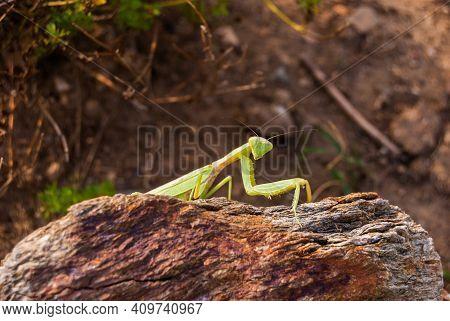 A Mantis From The Family Sphodromantis, Probably Sphodromantis Viridis, Lurked On A Rock. Sphodroman