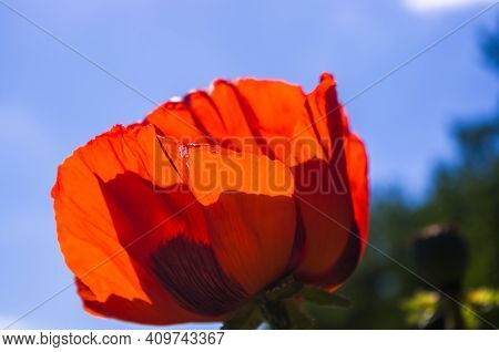 Poppy Flowers Or Papaver Rhoeas Poppy In Garden, Early Spring On A Warm Sunny Day, Against A Bright