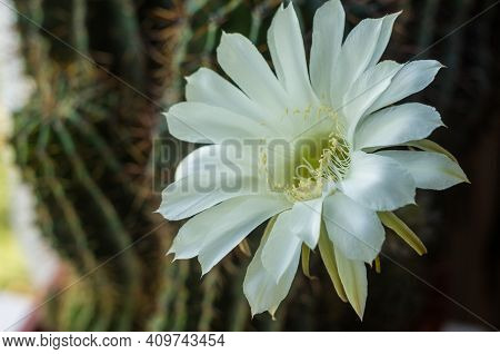Cactus Echinopsis Tubiflora Illuminated By Soft Evening Sunlight, Floral Background, Selective Focus