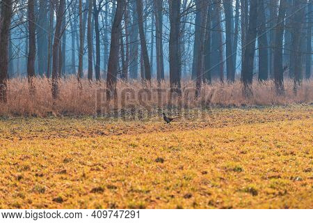 Meadow In The Woods. A Young Colorful Pheasant Bird Runs Across The Meadow.