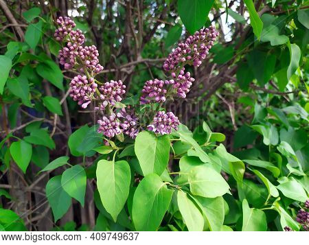 Lilac Flowers On A Branch. Lilac Blooms. Green Tree With Flowers. There Are Green Leaves In The Back
