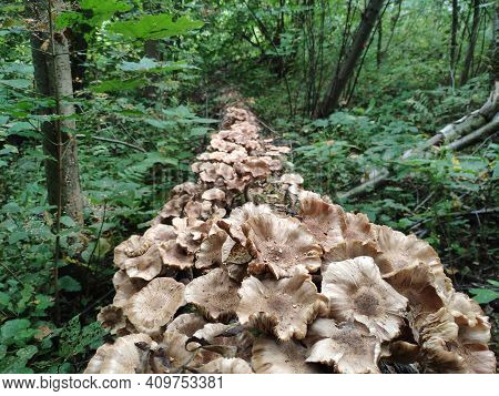 A Path Of Mushrooms. Honey Agaric Mushrooms Grow On A Tree In Autumn Forest. A Lot Of Armillaria Mus